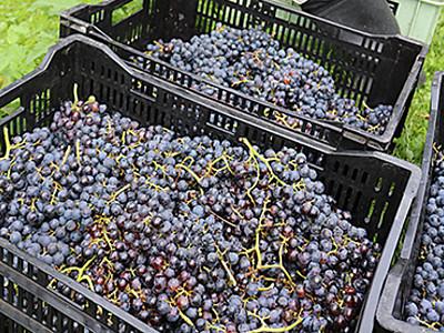 赤ワイン用ブドウたわわ 氷見の農園