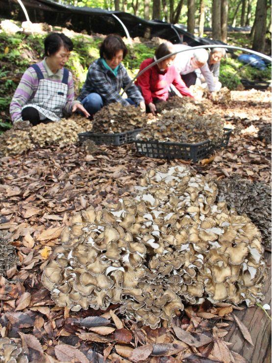 食べ頃を迎えた原木栽培のマイタケ=28日、加茂市