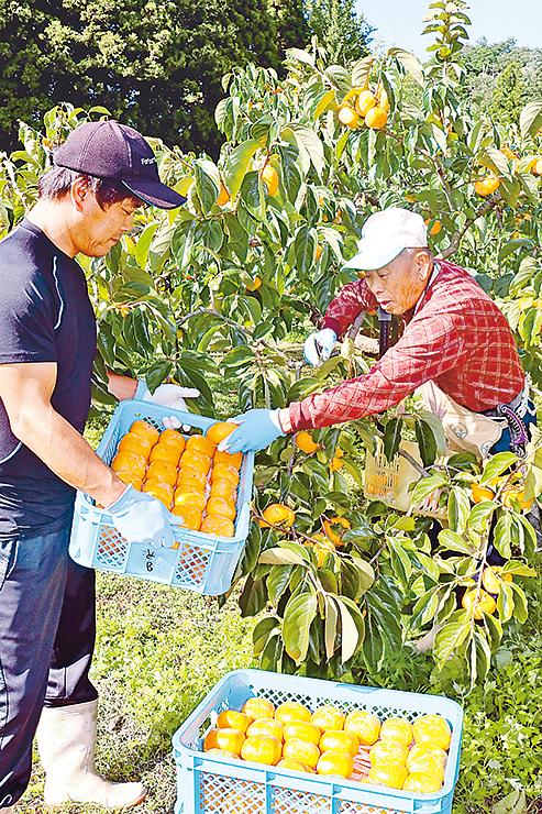 「ふく福柿」を収穫する宮木組合長(右)=砺波市東別所