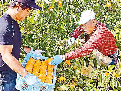 「ふく福柿」品質良好 砺波で収穫開始