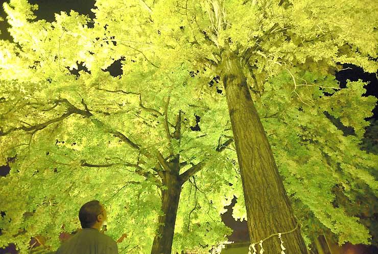 ライトアップされて鮮やかに浮かび上がった仏法紹隆寺のイチョウ=2016年11月