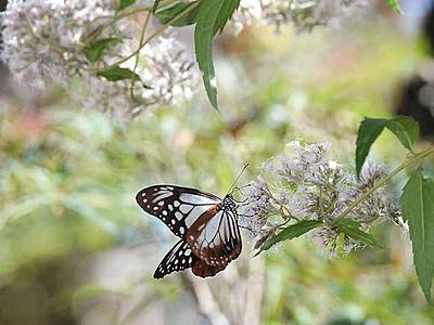 旅するチョウ、諏訪に 高島公園でアサギマダラ舞う