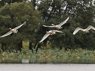 阿賀野市瓢湖に冬の先触れ ハクチョウ今季初飛来
