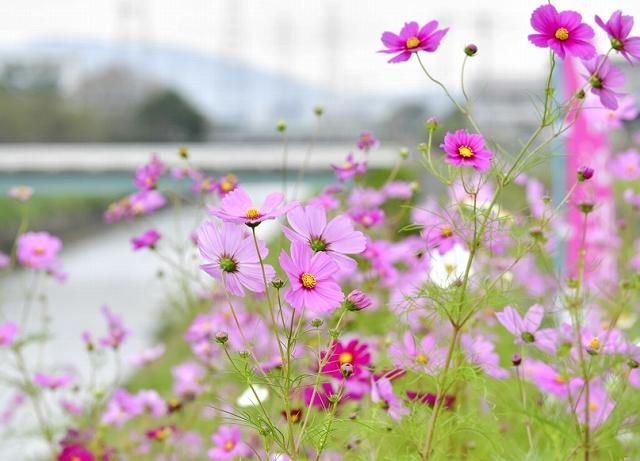 堤防沿いを彩るコスモス=10月10日、福井県鯖江市