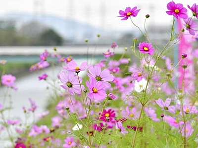 826askaさんライブも 鯖江・新横江でコスモス祭り