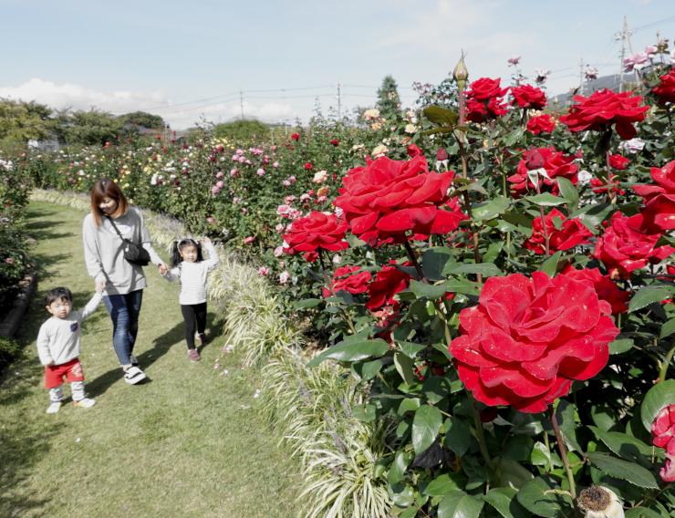 大きな花を咲かせたバラを楽しむ親子連れ