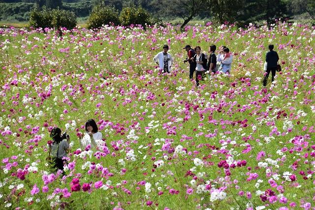 満開となったコスモスを楽しむ行楽客=10月14日、福井県勝山市野向町薬師神谷