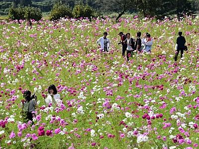 コスモス50万本、秋色のじゅうたん 福井県勝山市薬師神社周辺