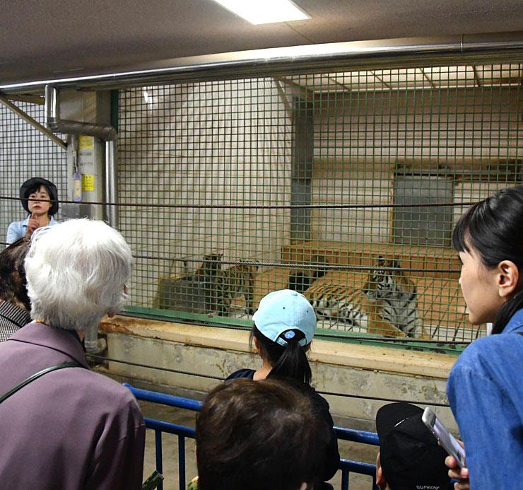 アムールトラの飼育舎で岸田さん(左奥)から説明を受ける命名者ら