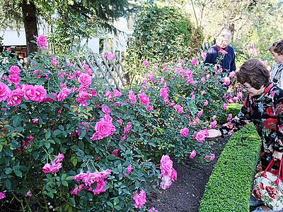 色とりどりバラ見頃 砺波の県花総合センター