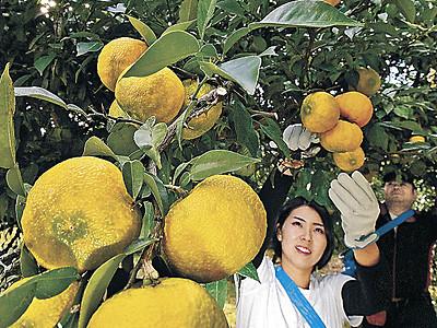 金沢ゆず収穫始まる
