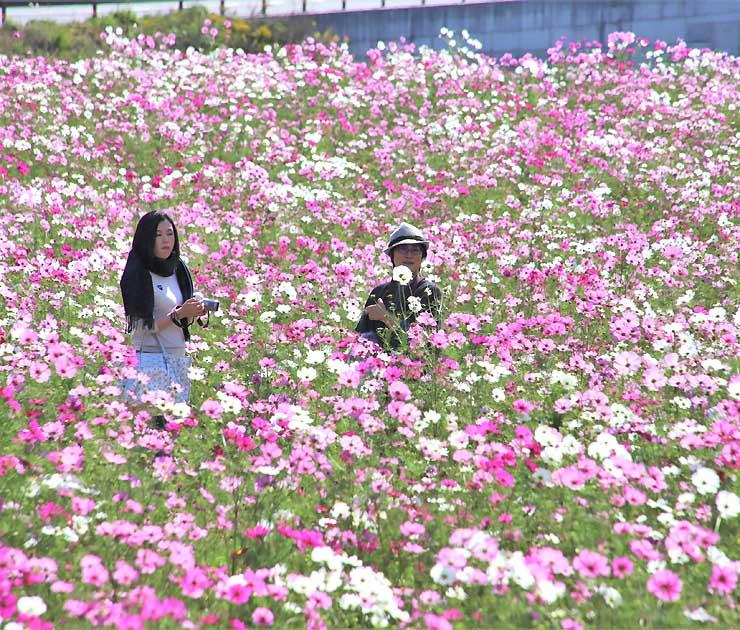 見頃を迎えたコスモス畑を散策する人たち