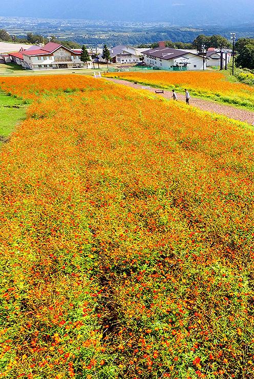 ゲレンデをオレンジ色に彩るキバナコスモス=イオックス・アローザスキー場、小型無人機「ドローン」で撮影