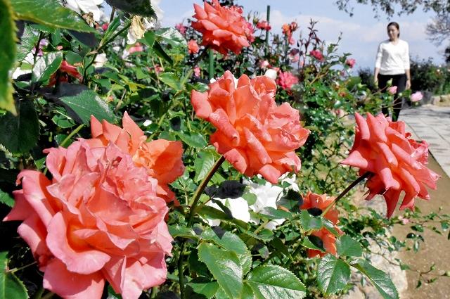 色とりどりの花が咲き始めているバラ園=10月19日、レインボーライン山頂公園