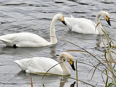 今季初、コハクチョウ飛来 鯖江市に3羽