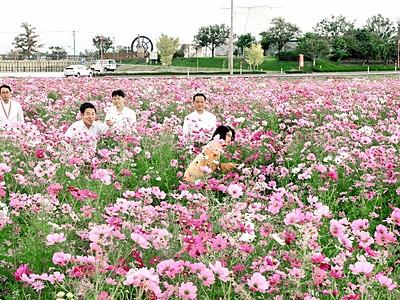 コスモス500万本見頃 福井・坂井の水田開放