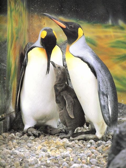 両親に寄り添うオウサマペンギンのひな=10月15日、福井県坂井市の越前松島水族館