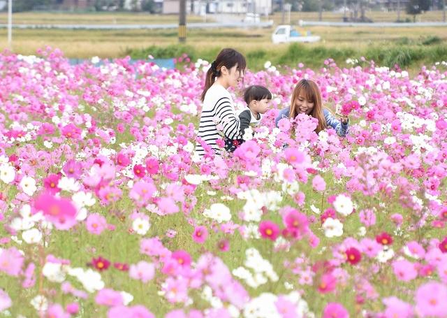 見頃を迎えたコスモス畑=10月23日、福井県大野市稲郷