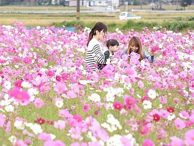 「インスタ映え」するコスモス広場 福井県の「どんグリーン広場」