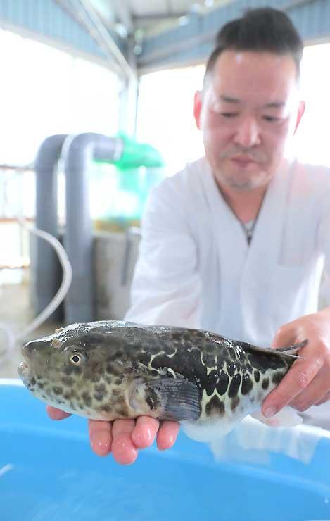 飯田市南信濃で養殖しているトラフグ。12月から「かぐらの湯」で料理の提供を始める=24日