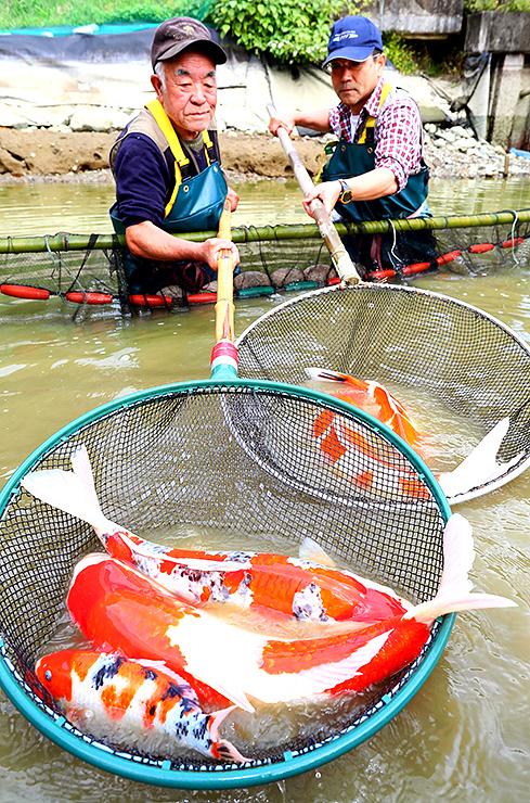 池からたもですくい上げられるニシキゴイ =富山市婦中町下瀬(写真部次長・吉田博昌)