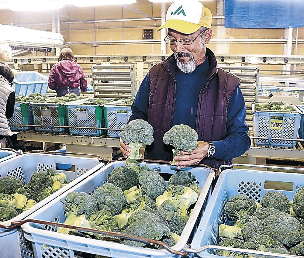 出荷が本格化した秋ブロッコリー=加賀市作見町のJA加賀野菜集出荷場