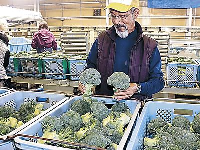 秋ブロッコリー品質上々 加賀で出荷本格化