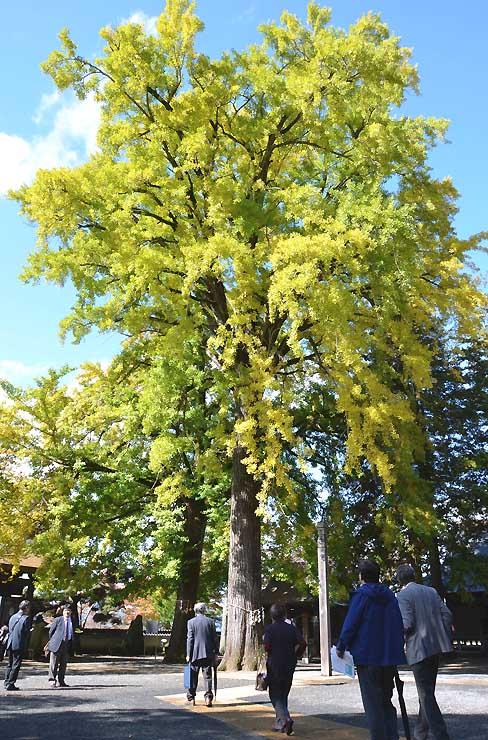 葉が黄色に染まった仏法紹隆寺のイチョウ