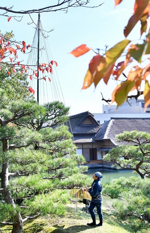 木々が色づき始めた養浩館庭園で始まった雪つり作業=11月8日、福井県福井市宝永3丁目