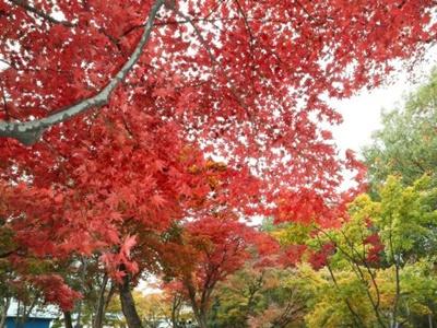 庭園の木々彩りを競う もみじ園見頃 長岡・越路