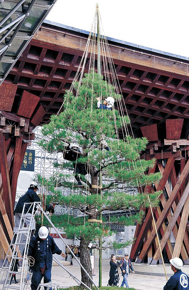 雪づりが施された鼓門前のクロマツ=JR金沢駅前