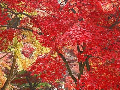 カエデ、燃えるよう 長野の清水寺で見頃