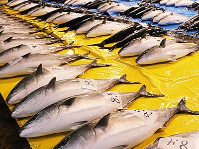 今冬 ブリ漁獲期待できます! 富山湾、県水産研予報