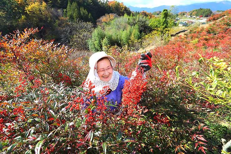 真っ赤に染まったナンテン畑で色づきを見る武田さん=14日、豊丘村
