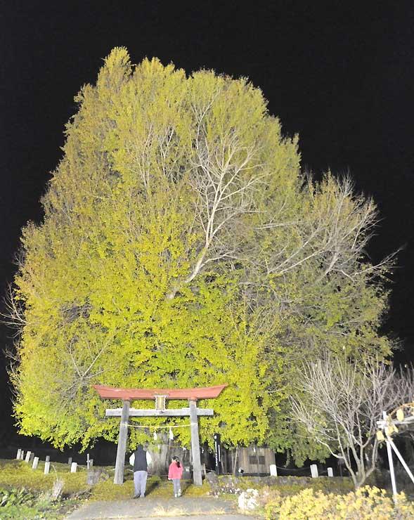 ライトアップされた神戸のイチョウ=2017年11月