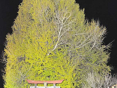 「神戸のイチョウ」幻想的な黄色へ 飯山で23日から