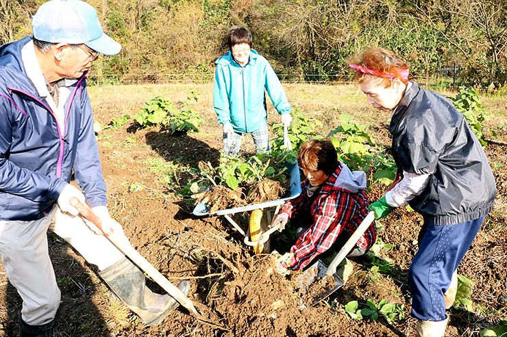 ヤーコンを掘り出す臼谷営農組合のメンバー=小矢部市臼谷