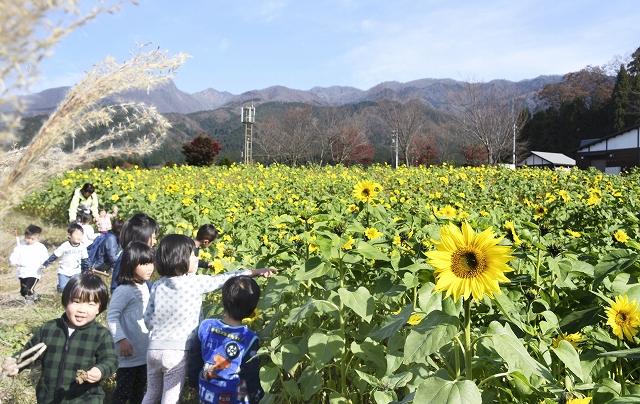 秋の風景と共演するように花を咲かせたヒマワリ=11月21日、福井県大野市蓑道