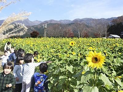 """真夏の""""太陽""""秋空と共演 季節外れのヒマワリ開花"""
