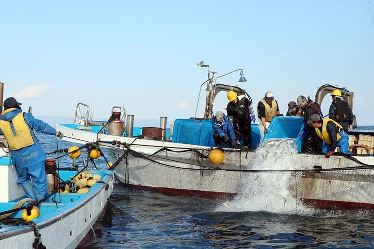 サクラマスの稚魚を海中のいけすに移す地元漁師ら=射水市新湊沖