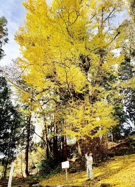 黄金色に色づいた葉が散り始めた勝山市天然記念物の薬師の大イチョウ=11月29日、福井県勝山市野向町薬師神谷