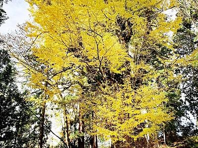 黄金色の葉、風に舞う 勝山・薬師の大いちょう