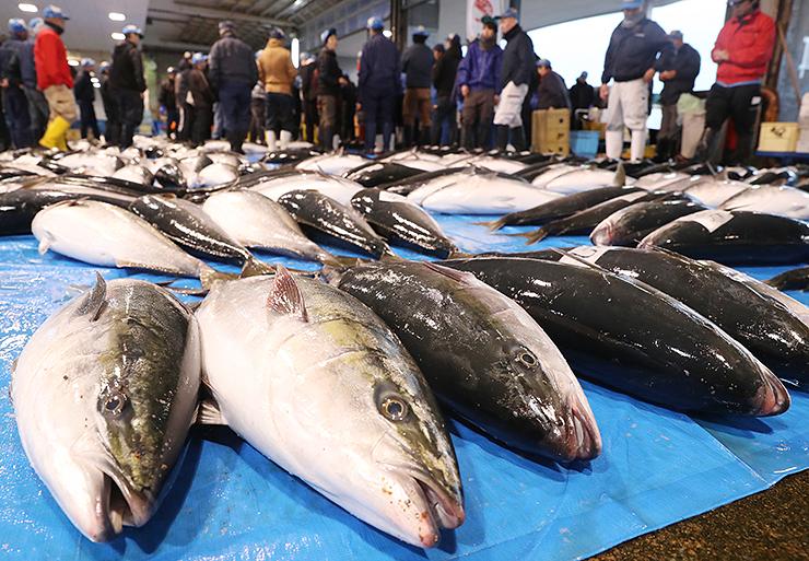 水揚げされた「ひみ寒ぶり」=氷見魚市場
