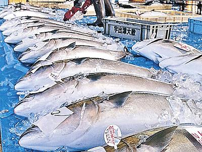 宇出津港のと寒ぶり、幸先良し 石川県漁協能都支所、初日52本