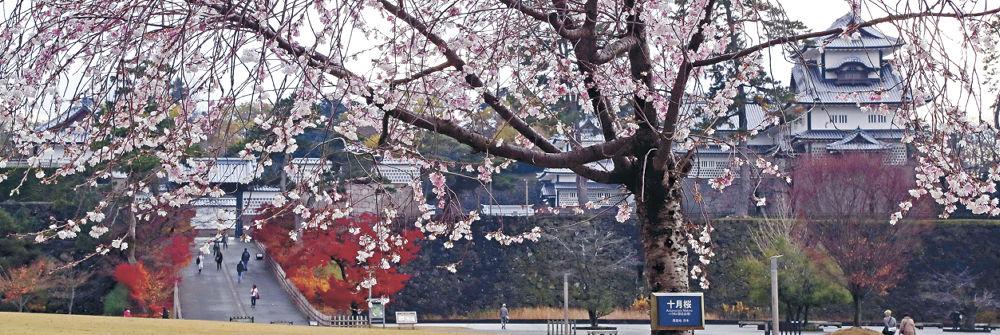 穏やかな天気の中、たくさんの花をつけた十月桜=金沢城公園