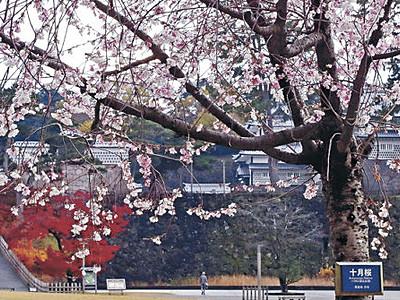 桜と紅葉 金沢城公園で競演