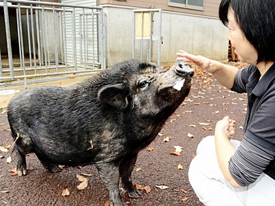 ミニブタと写真、年賀状にどうぞ 福井で7日から