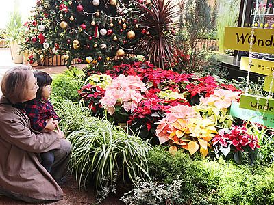 Xマス彩る花々並ぶ チューリップ四季彩館