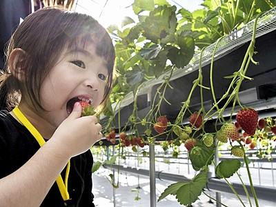 イチゴ狩り幕開け、4種食べ比べ 福井県おおい町