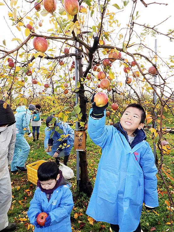 リンゴの収穫を楽しむ参加者=魚津市吉島
